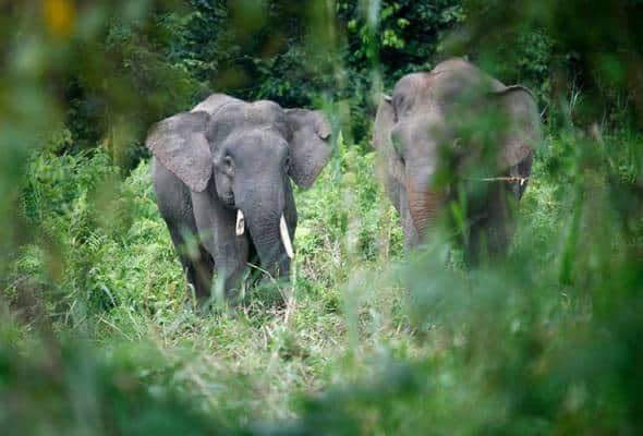 Gajah Borneo Sabah perlu kaedah pemuliharaan betul, agresif